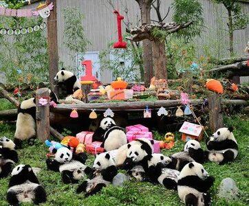 Trung Quốc tổ chức 'đại tiệc' sinh nhật cho 18 gấu trúc con